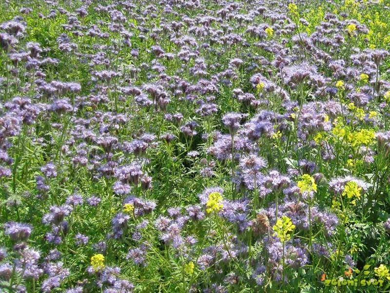 Rastline za zeleno gnojenje ustavijo tudi škodljivce in plevel