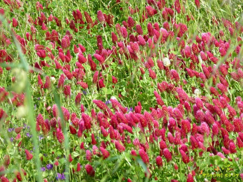 Prezimne rastline za zeleno gnojenje
