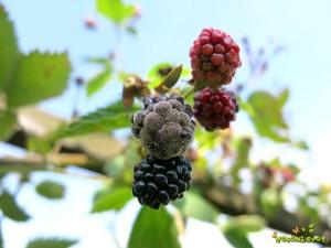 Siva plesen na plodovih