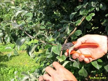 Poletna rez v sadovnjaku, redčenje plodov in oskrba dreves
