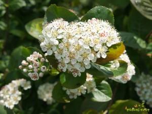 Cvet aronije