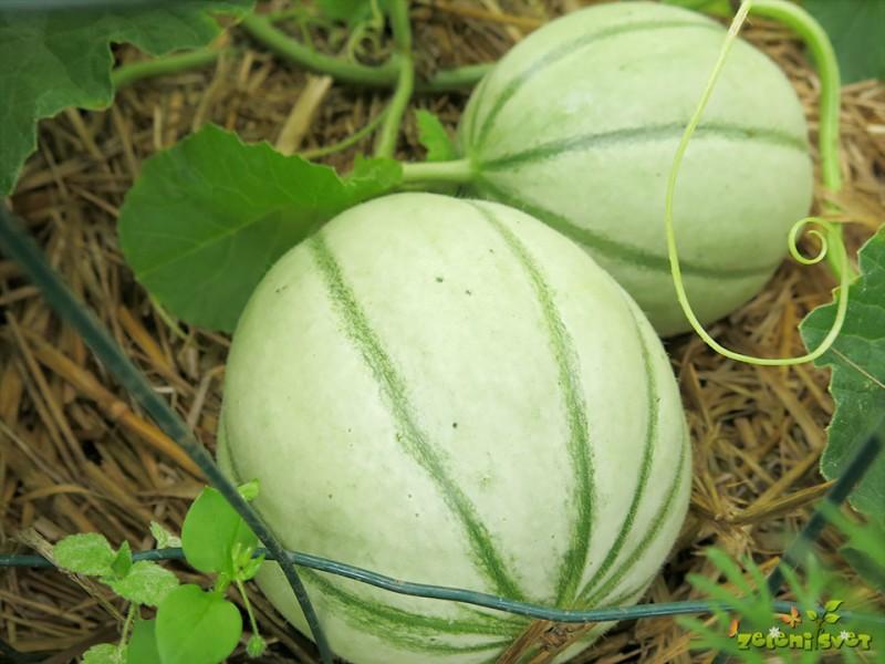 melone ali dinje