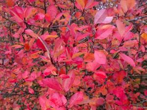 Jesenska barva listov aronije.
