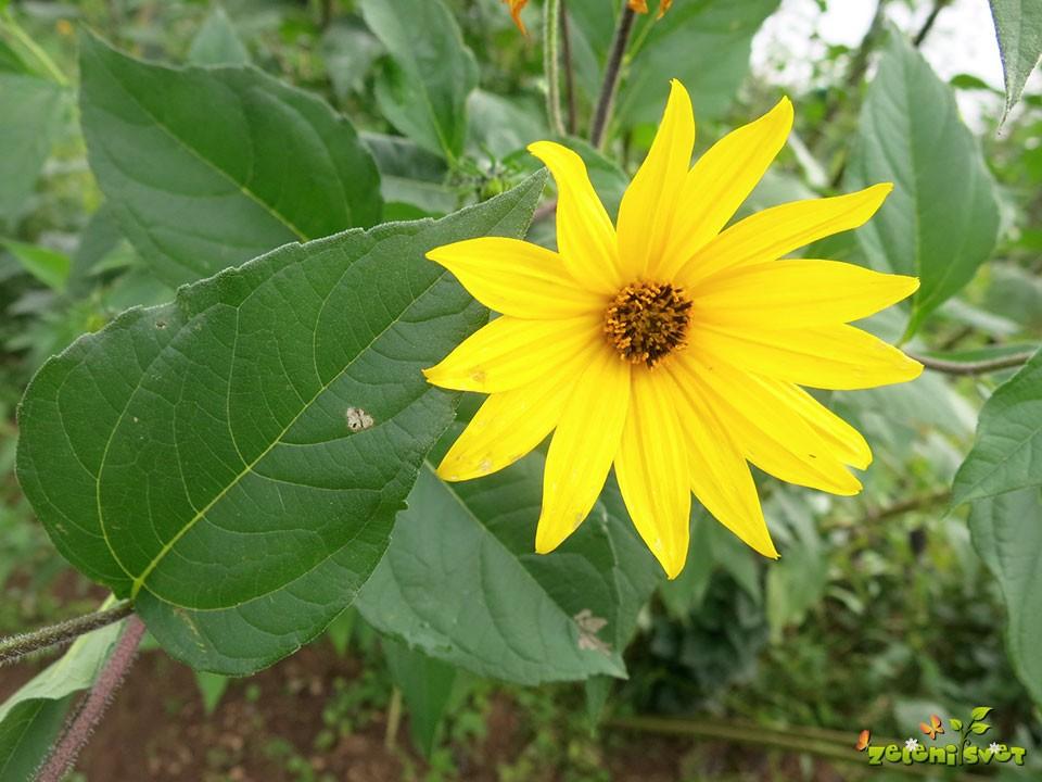 topinambur cvet