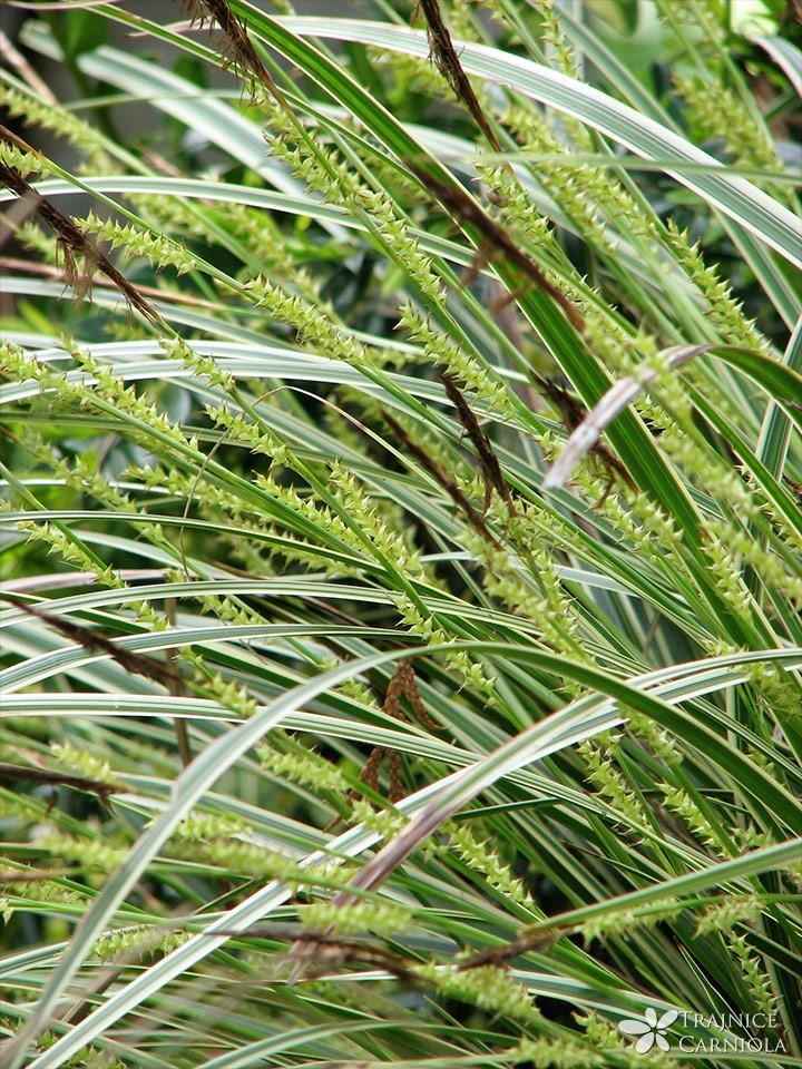 Carex morrowi 'Variegata'; Morrowov šaš