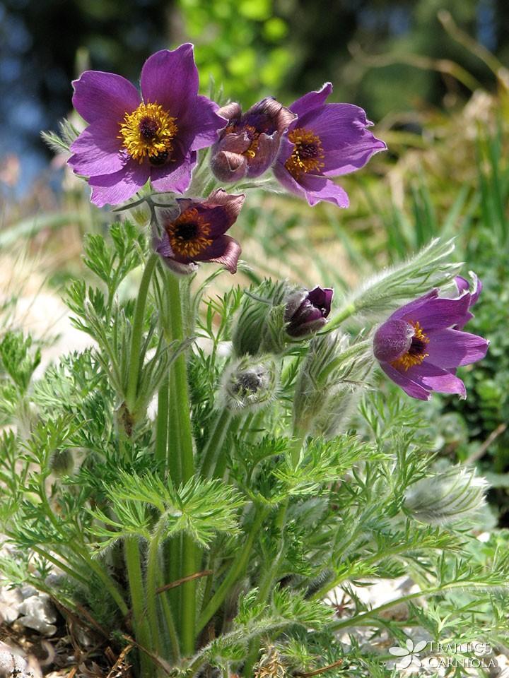Navadni kosmatinec – Pulsatilla vulgaris