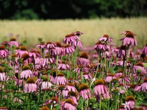 •Echinacea purpurea; škrlatni ameriški slamnik
