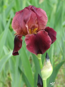 Iris hy.; bradate perunike