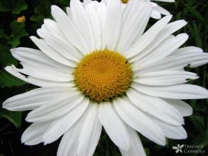 •Leucanthemum x superbum; vrtna marjeta