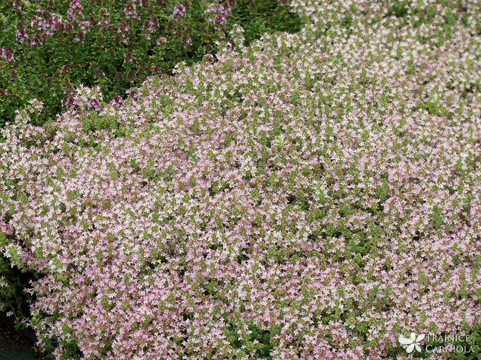 Thymus praecox Pink Chintz