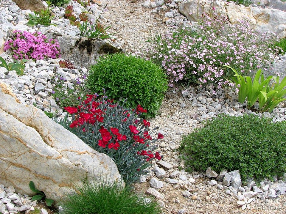 Alpske rastline za začetnike