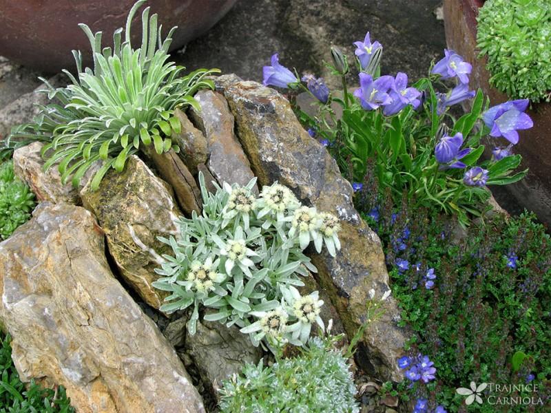 Alpski vrt na balkonu ali terasi