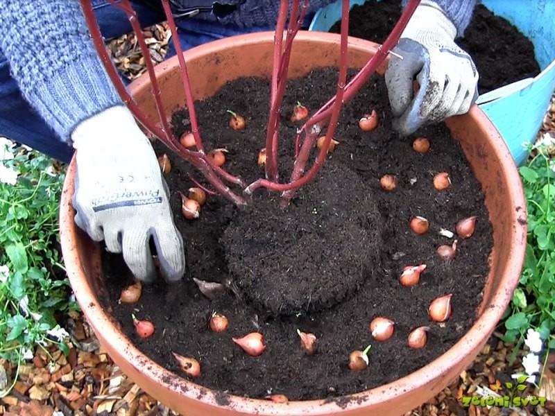 Zasaditev cvetličnih posod in oskrba trajnic pred zimo