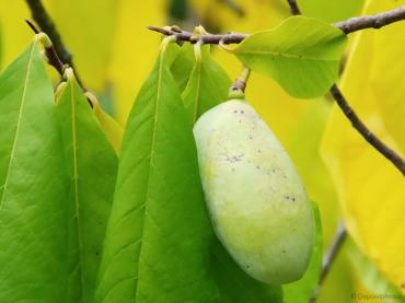 Asimina ali indijanska banana raste v Sloveniji