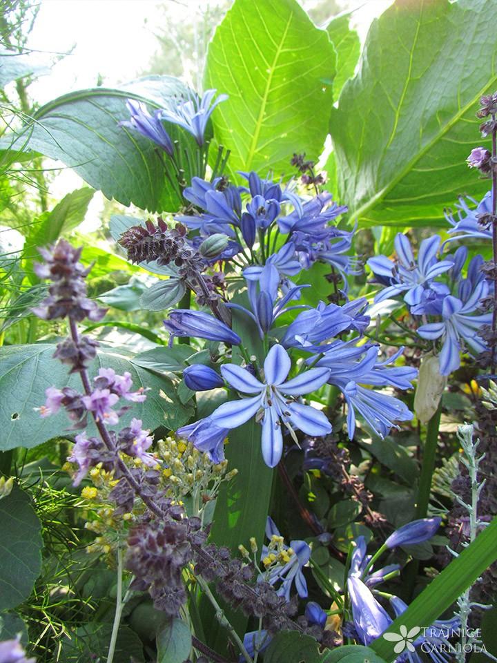 Agapant ali afriška lilija
