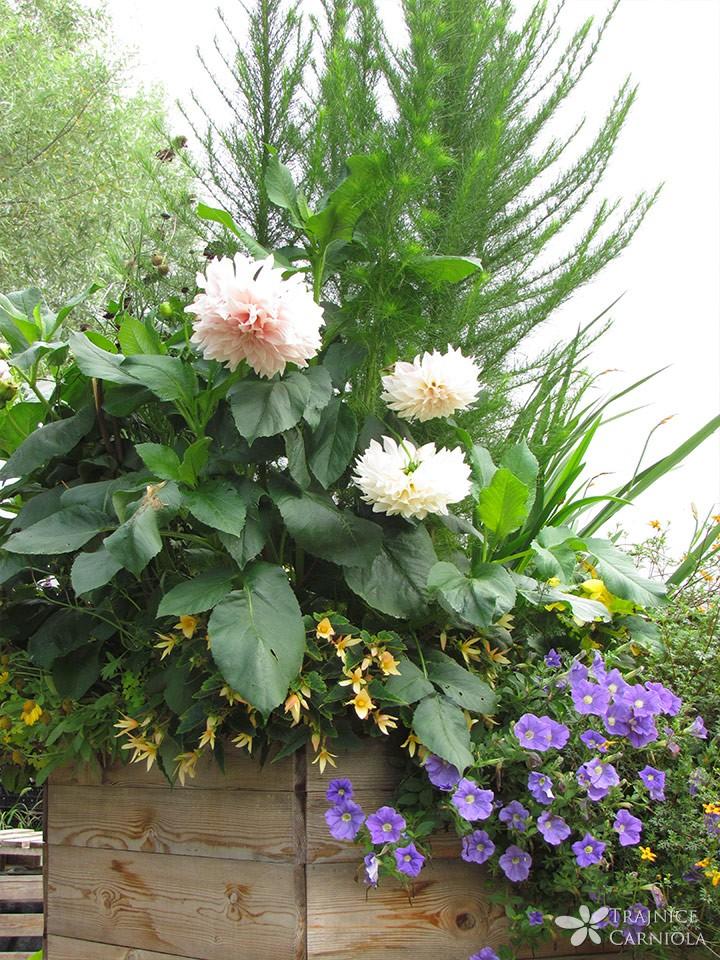 Dalije, petunije, dlakavolistne konjske grive in viseče begonije