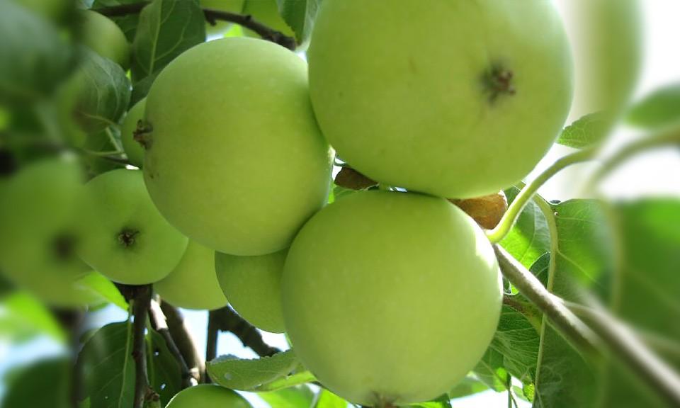 Jablana sorta Beličnik