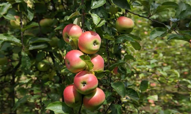 Stare sorte jablan, hrušk in češenj