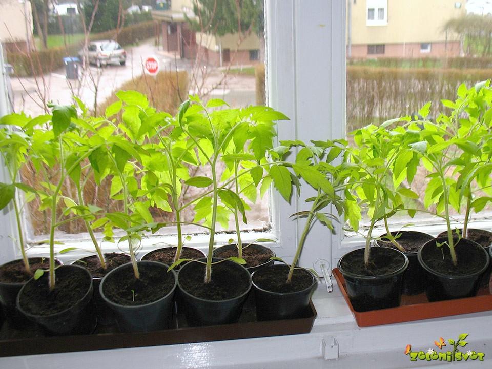 sadike paradiznika na okenski polici