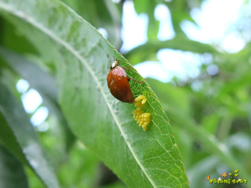 Koristni organizmi v sadnem vrtu – ohranjajmo naravno ravnovesje