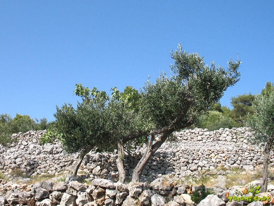 Značilna Jadranska krajina, kjer uspevajo fige in oljke.