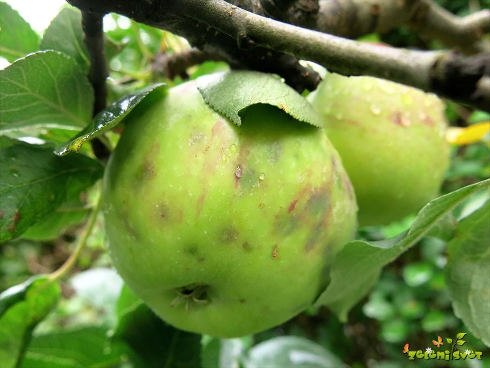 jabolko grenka pegavost