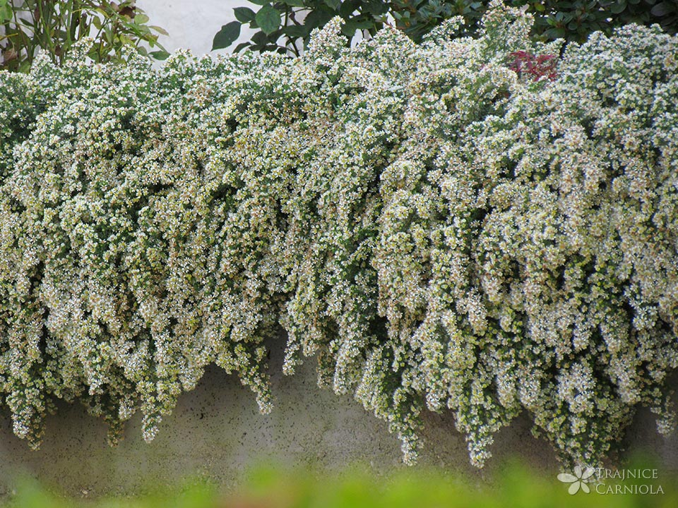 Polegla resava astra, Aster ericoides f. prostratum 'Snowflurry'