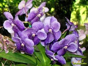 Orhideje Vanda