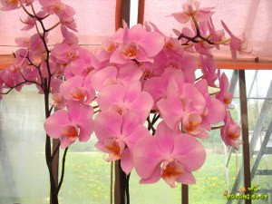 Orhideja falenopsis