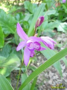 Terestrična orhideja Bletilla striata.