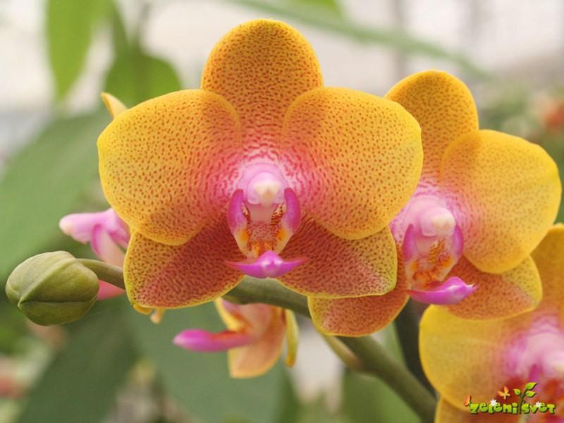 Gojenje orhidej falenopsis