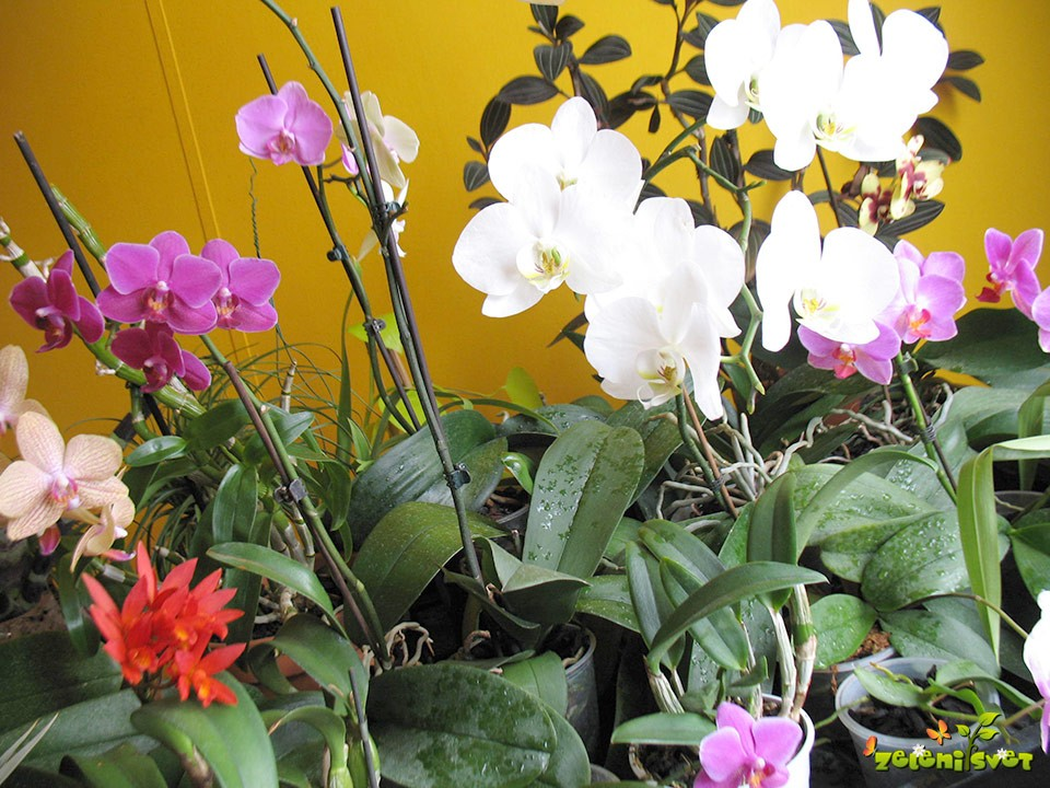 Orhideje falenopsis