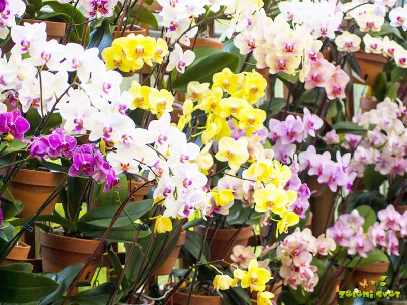 Orhideje Falenopsis so idealne lončnice