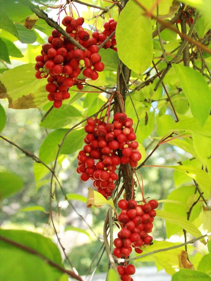 sisandra-plodovi