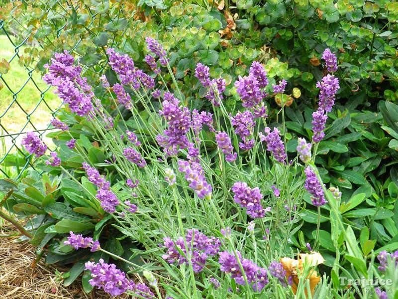 Čudežna moč sivke ali lavande v vašem vrtu