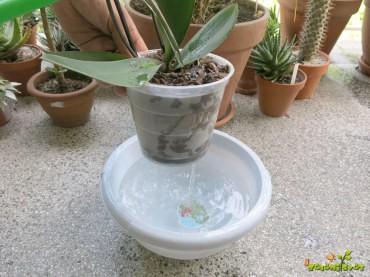Kako zalivamo orhideje?