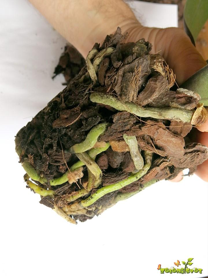 zdrave-korenine