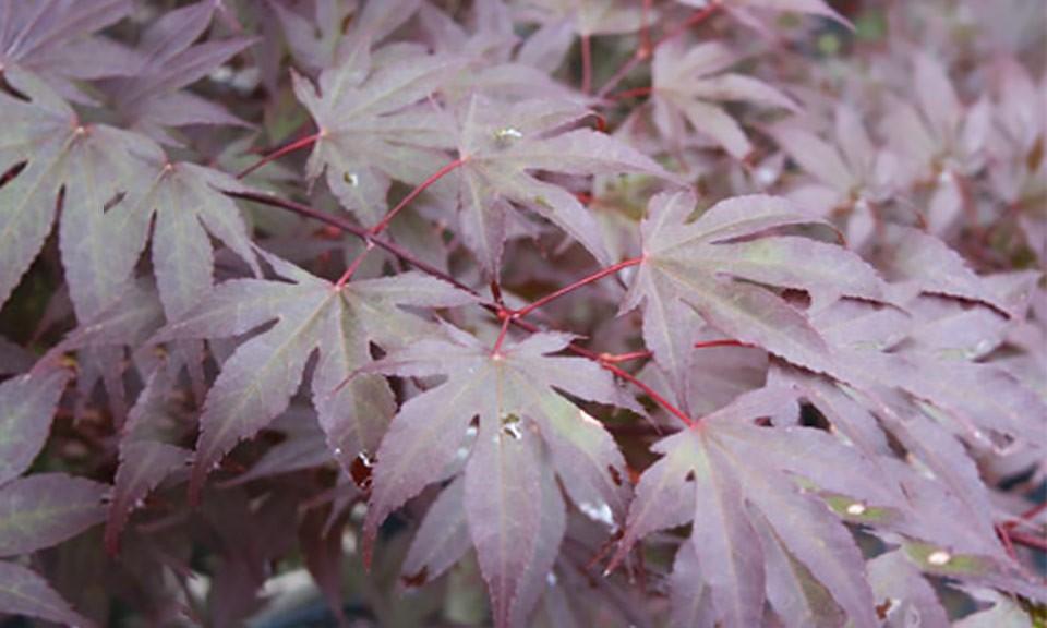 Acer palmatum 'Bloodgod'