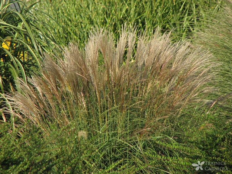 Okrasne trave v jesenskih zasaditvah