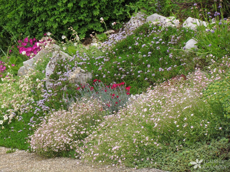 Cvetoči skalnjak za vsak vrt