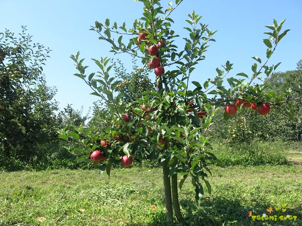 Tri leta staro drevo sorte Gala, lepo obloženo s plodovi.