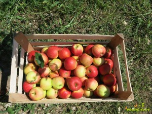 jabolka v gajbici