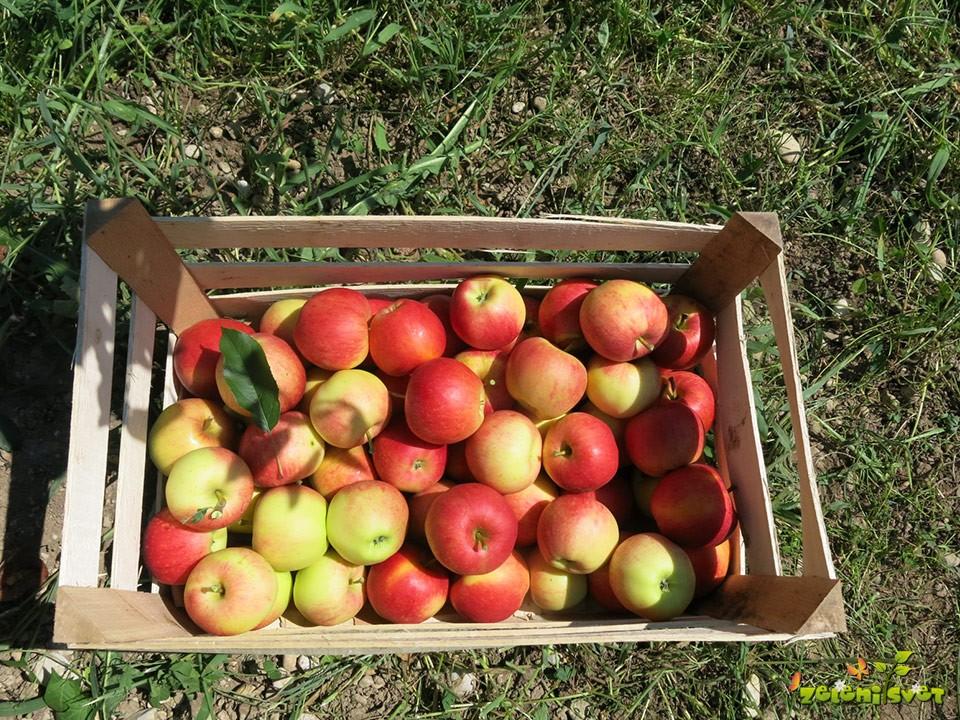 jabolka v gajbici.