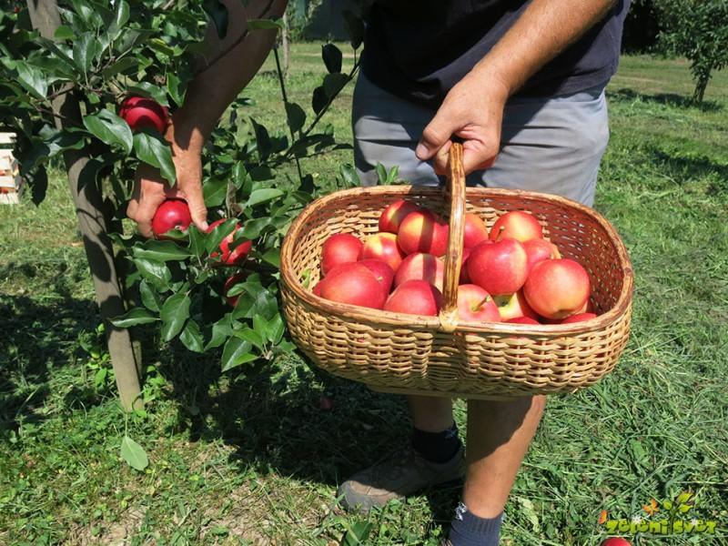 Poletna rez, redčenje in obiranje prvih plodov