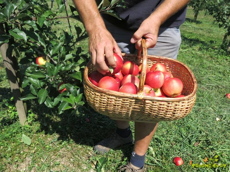 Obiranje sadja