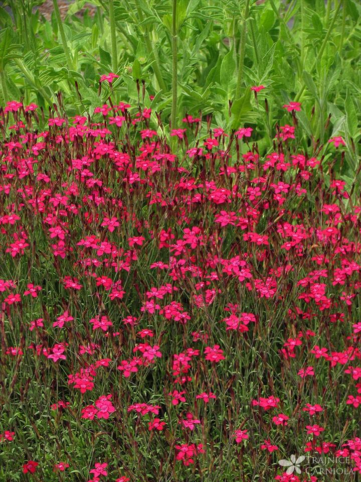 Dianthus-deltoides-Splendids