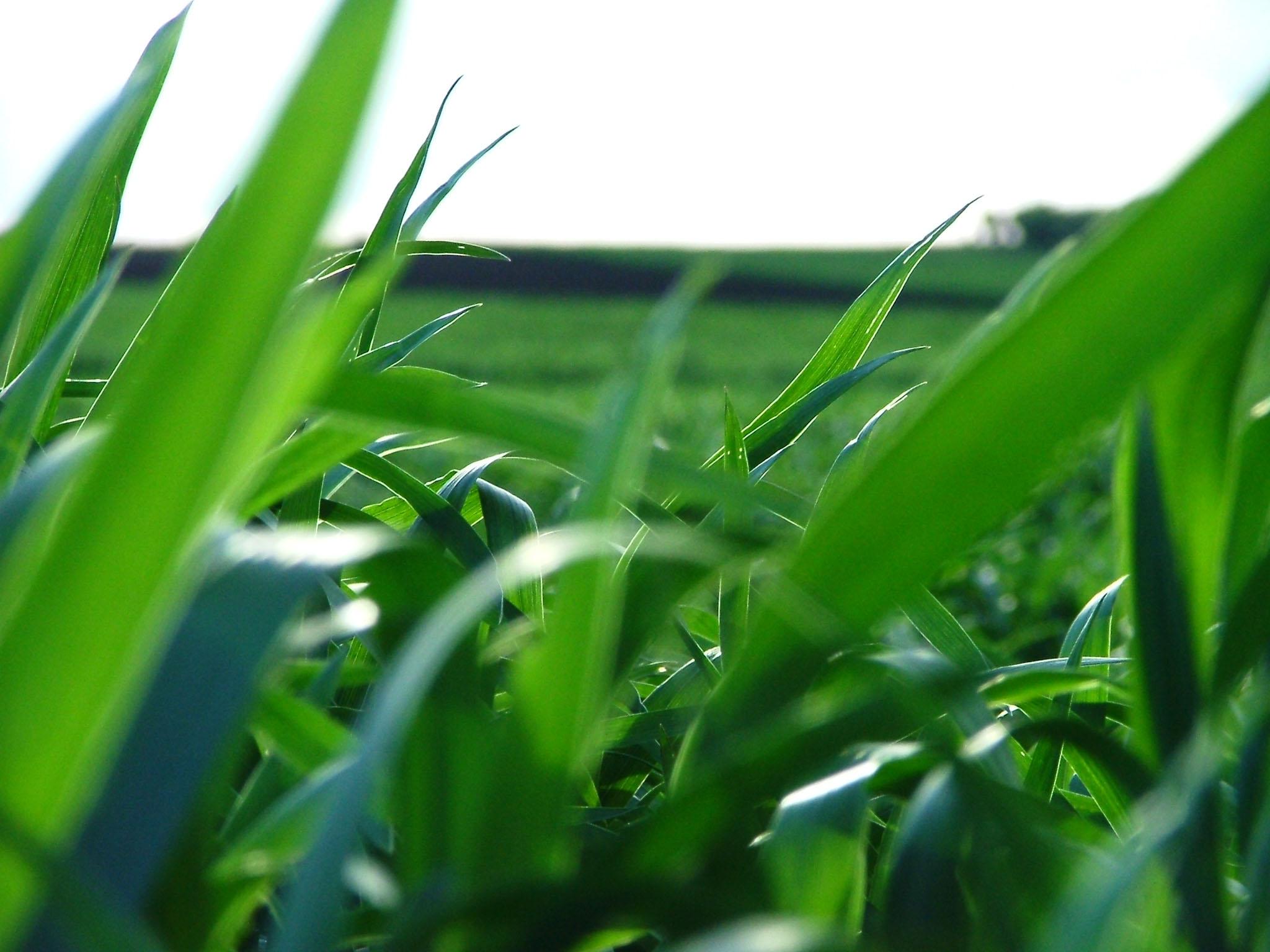 Pšenica za zeleno gnojenje.