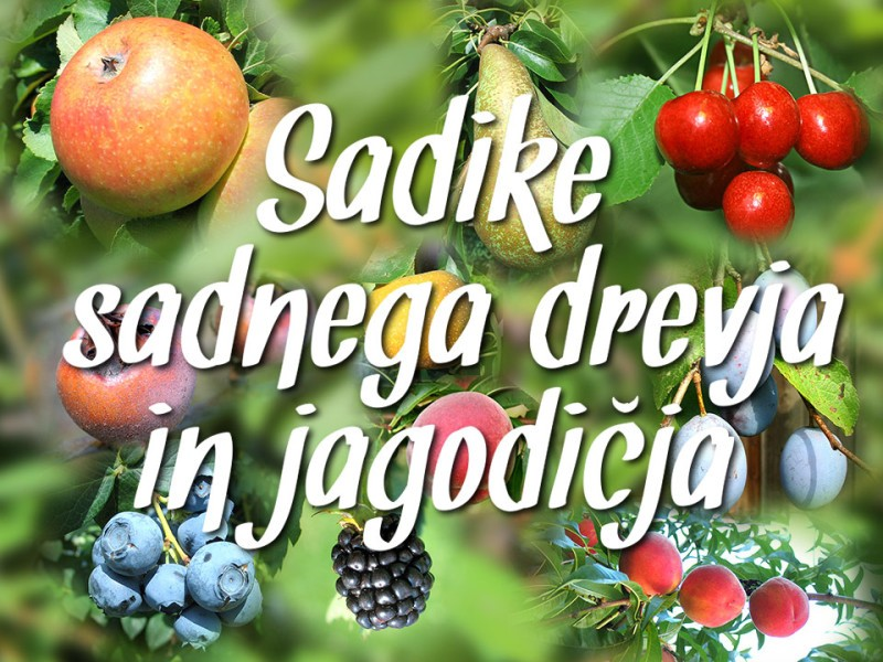 Sadike sadnega drevja in jagodičja