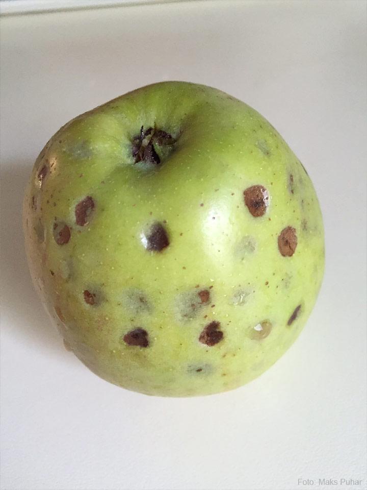 grenka pegavost plod