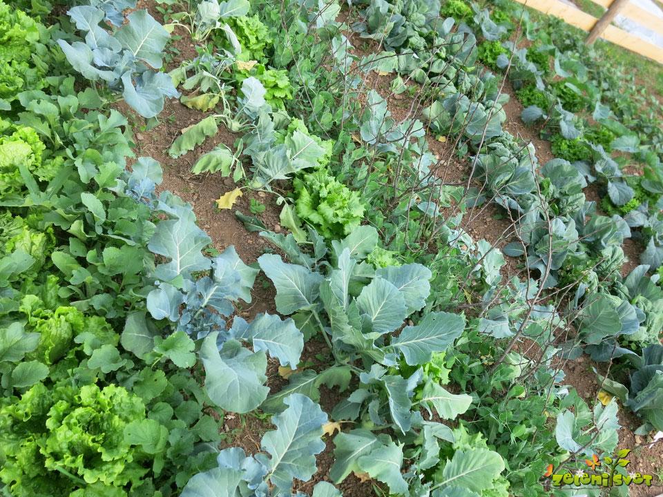 Med kapusnice sadimo solato, uspeva nizek grah, zelena in redkvice.